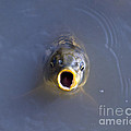 Curious Carp by Al Powell Photography USA