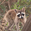 Curious Critter by Southern Tradition