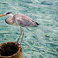 Curious Heron. Maldives by Jenny Rainbow