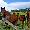 Curious Horses In Summer by Cherokee Blue