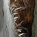Curly Bark Of A Palm Tree by Mike Nellums