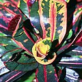 Curly Croton by Carol Steele