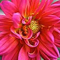 Curly Dahlia by Susan Herber