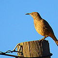 Curved Billed Thrasher Sitting On A Post by Roena King