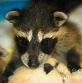 Cute Face Behind The Mask Baby Raccoon by Peggy Franz