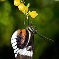 Cydno Longwing Butterfly by Terry Elniski