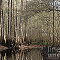Cypress And Water by Nancy Greenland