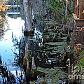Cypress Knees And Trees by Carol  Bradley