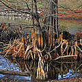Cypress Knees by Tom Bell