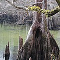 Cypress Stump #1 by Charlie Day