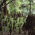 Cypress Stumps by Pamela Stanford