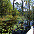 Cypress Swamps And Black Water by Ginette Callaway