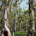 Cypress Trees And Water Hyacinth In Lake Martin by Louise Heusinkveld