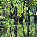 Cypress Trees Cross A Waterway by Medford Taylor