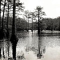 Cypress Trees In Louisiana by Ester  Rogers