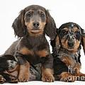Dachshund And Merle Dachshund Pups by Mark Taylor