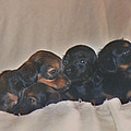 Dachshund Puppies by Victoria Sheldon