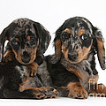 Dachshund Pups by Mark Taylor