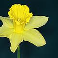 Daffodil by Chris Day