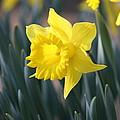 Daffodil Delight by David Dinsdale