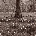Daffodil Glade Number 2 Bw by Steve Gadomski