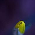 Daffodil by Jane Melgaard