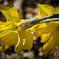 Daffodil Sunshine by Teresa Mucha