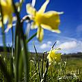 Daffodils In Cezallier. Auvergne. France. Europe by Bernard Jaubert