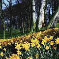 Daffodils Narcissus Flowers In A Forest by The Irish Image Collection