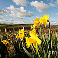 Daffs On Dartmoor by Rob Hawkins