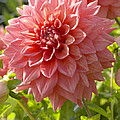 Dahlia Dahlia Sp Beverly Fly Variety by VisionsPictures
