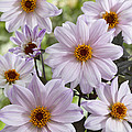Dahlia Dahlia Sp Bishop Of Leicester by VisionsPictures