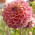 Dahlia Dahlia Sp Hills View Jupiter by VisionsPictures