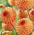 Dahlia Dahlia Sp Mirella Variety Flowers by VisionsPictures