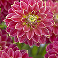 Dahlia Dahlia Sp Optimist Variety by VisionsPictures
