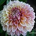 Dahlia Dewdrops by Susan Herber