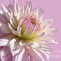Dahlia Flower Pretty In Pink by Jennie Marie Schell