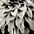 Dahlia Flower  by Sumit Mehndiratta