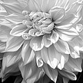 Dahlia In Black And White by Laurel Talabere