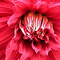 Dahlia In Red by Laurel Talabere