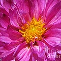 Dahlia Named Pink Bells by J McCombie