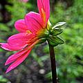 Dahlia Profile by Susan Herber