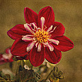 Dahlia by Sandy Keeton