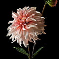 Dahlia With Bud by Endre Balogh