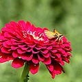Dahlia's Moth by Elizabeth Winter