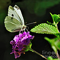 Dainty Butterfly 2 by Kaye Menner