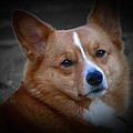 Daisie Our Corgi by David Dehner