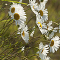 Daisies Blowin In The Wind by Kathy Clark