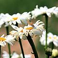 Daisies by Brenda Deem