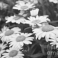 Daisies by Catherine Conroy